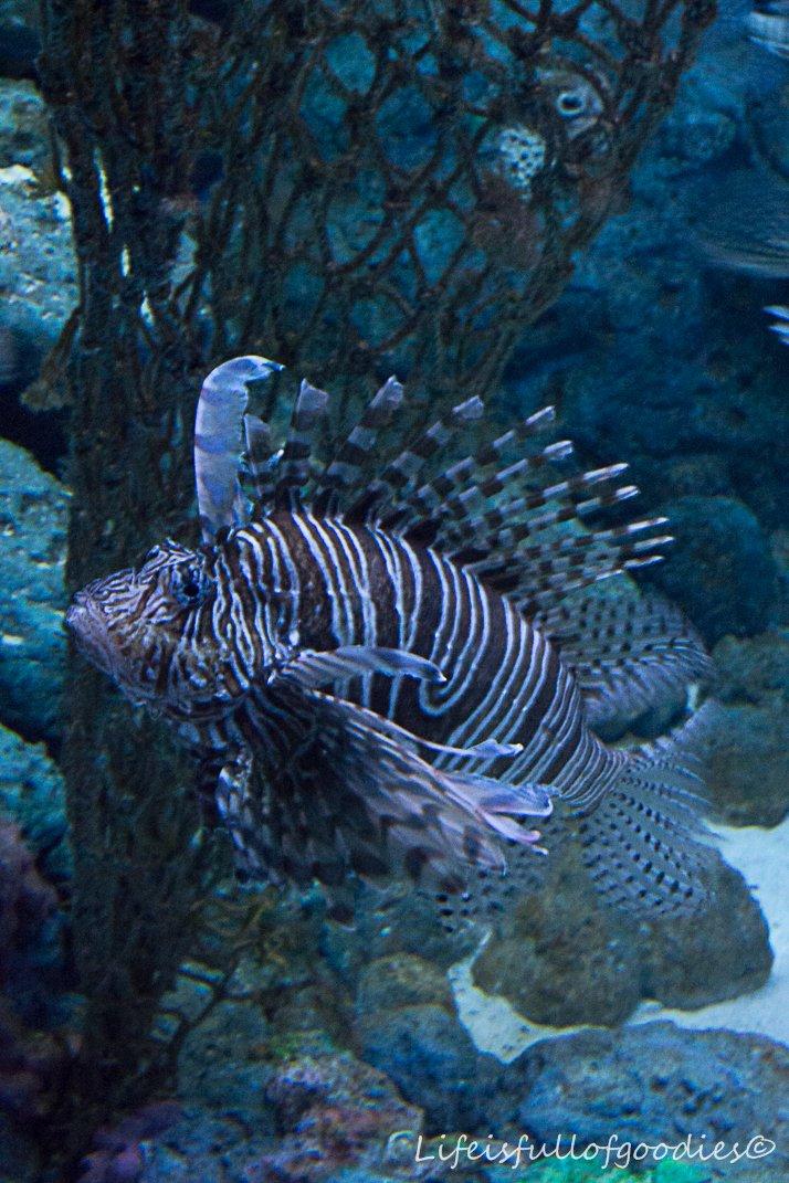 Feuerfische. Wunderschöne Geschöpfe