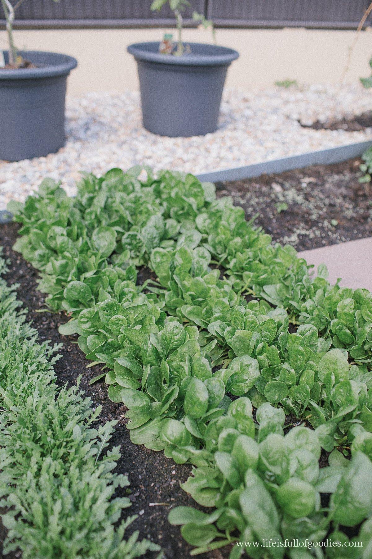Ein Blick in meinen Gemüsegarten - Teil I
