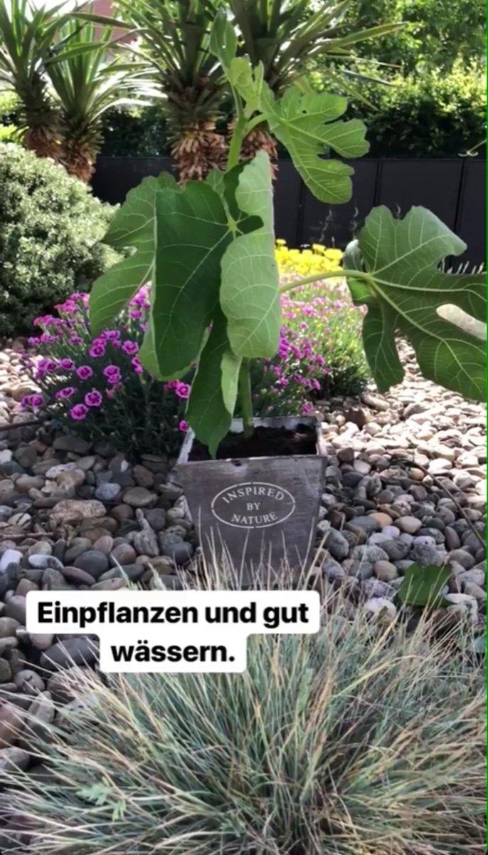 Feigenbäume ziehen und vermehren – so geht´s!