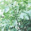 Feigenbäume ziehen und vermehren - so geht´s!
