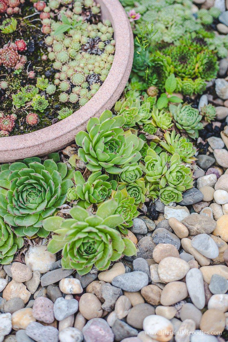 Sukkulenten ziehen und vermehren