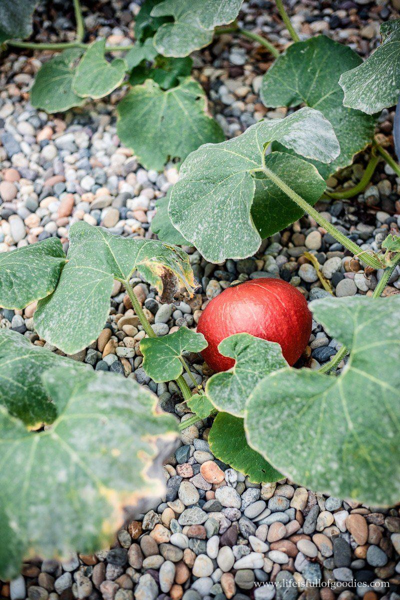 Die Ernte aus meinem Gemüsegarten