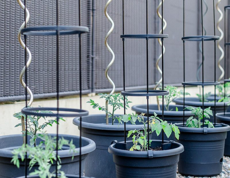 Tipps für den Tomatenanbau in Kübeln und meine neuen Tomatentöpfe
