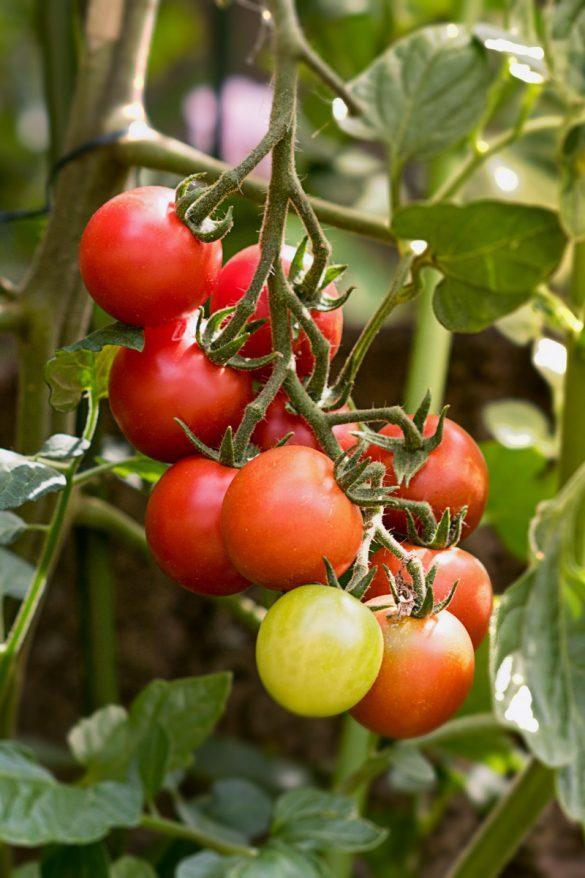 Tipps fürs Tomaten ziehen